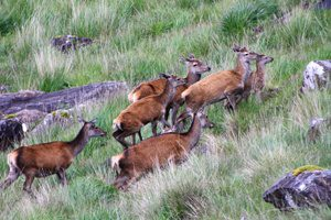 Deer Scotland