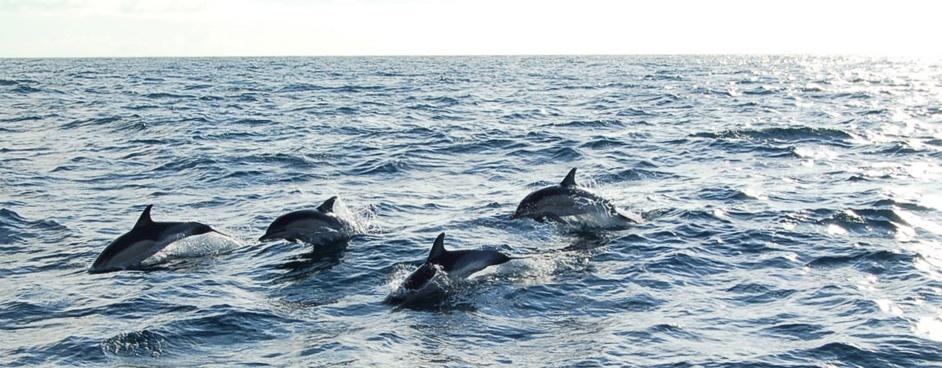 Dolphins-sailing-Asturias-Spain